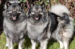 Wolfspitze von Fritzi´s Wölfen